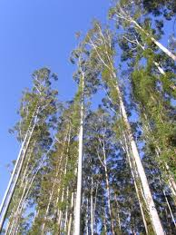 widow maker gum trees and why you should clear the deadwood