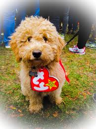 a real beanie baby u2013 my goldendoodle on halloween u2013 you bet your
