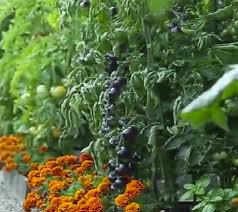 front yard vegetable garden the permaculture zone