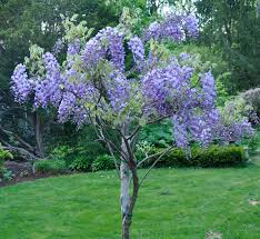 Small Trees For Backyard by Growing With Plants How To Grow And Train A Wisteria Tree
