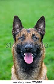 belgian shepherd howling close up of belgian shepherd dog malinois working as attack dog