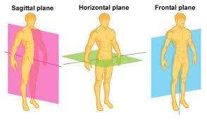 Anatomy Of The Human Skeleton Planes Of Movement The Skeleton U0026 Bones Anatomy U0026 Physiology