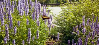 agastache cuisine amish country garden highlights as the seasons turn