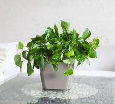 Air Purifying Plants 9 Air by Indoor Plants Nyc Office And House Plant Delivery Service In New