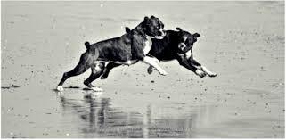 boxer dog kidney problems what is boxer jkd boxerjkd com