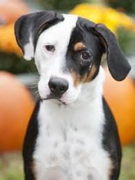 bluetick coonhound stuffed animal bluetick coonhound puppy ember from backwoods blueticks in polk