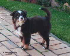 runnin c australian shepherds nav ah 9 month old miniature american shepherd miniature