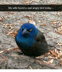 Angry Bird Meme - my wife found a real angry bird today angry birds meme on me me