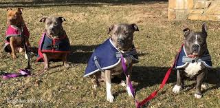 american pitbull terrier game bred bloodlines list of different american pit bull and american bully bloodlines