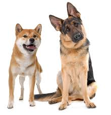 belgian sheepdog vs german shepherd shiba inu german shepherd mix information my first shiba inu