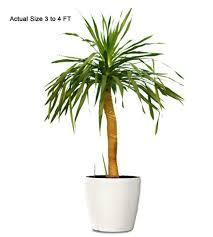 ornamental plant dracaena arborea ornamental plant small