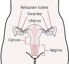 Hymen Female Anatomy Cervix Wikipedia