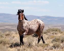 mustang horse wild horses please comment on blm u0027s disastrous plans to study and