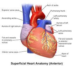 Human Anatomy Anterior File Blausen 0451 Heart Anterior Png Wikimedia Commons