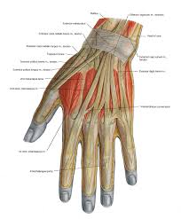 Shoulder And Arm Muscles Anatomy Muscles Of The Arm And The Hand Anatomical Plates