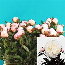 wholesale peonies peony gardenia wholesale flowers florist supplies uk peonies