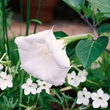 Flowers For Morning Sun - best white flowers for your garden white flowers trumpets and dawn