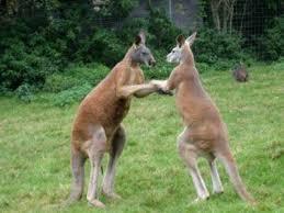 cuisiner le kangourou kangourou définition et recettes de kangourou supertoinette