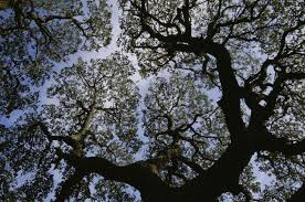 file looking up into the silhouetted branches and gree foliage of