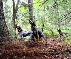 bluetick coonhound dander chubbs the best bluetick coonhound we have ever had rip my love