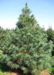 pine trees how to eat onepreparedness advice