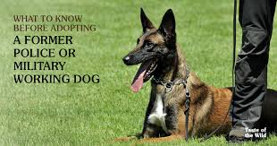 belgian shepherd malinois military what to know before adopting a former police or military working dog