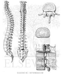 Human Vertebral Column Anatomy Welcome To Netter Images