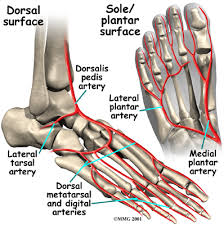Foot Ligament Anatomy A Patient U0027s Guide To Foot Anatomy Houston Methodist