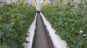 farming without soil new japanese tech makes growing fruit and