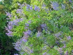 16 best trees for me images on drought tolerant arbor