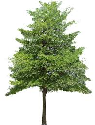 texture oak tree medium trees lugher texture library