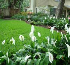 Peace Lily Plant Peace Lily Palm Tree Landscaping Bokeelia Fl 33922