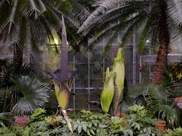 what u0027s that smell in dc three corpse flowers are in bloom at the