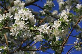 tree with white flowers white flowers on crabapple tree picture free photograph photos