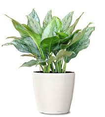 ornamental plant aglaonema b j freeman ornamental plant small