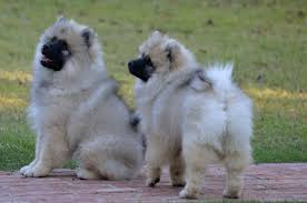 american eskimo dog vs keeshond 7 reasons why the keeshond totally owns the nickname the smiling