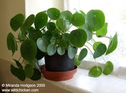 good houseplants for low light pilea peperomioides what a cool looking plant likes low light