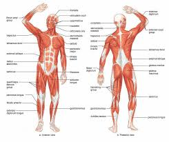 human muscle anatomy diagram human muscles anatomy are given