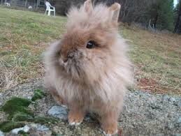 lion heads for sale rabbits in washington state rabbitry with lionhead bunnies for