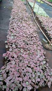 ornamental plants manufacturers suppliers exporters in
