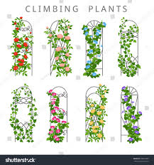 vector flat illustration garden trellis climbing stock vector