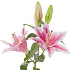 stargazer lilly stargazer lilies