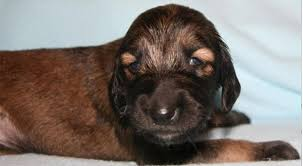 afghan hound breeders europe introduction of puppies