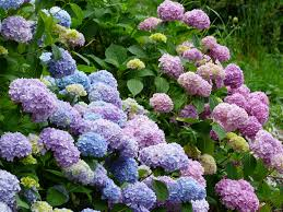 hydrangea keep pests and diseases away from hydrangeas espoma