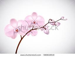 pink orchids beautiful three day pink orchids stock vector 590618519