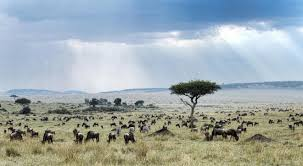Tropical Savanna Dominant Plants - how do african grasslands support so many plant eaters