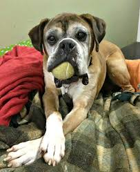 rescue a boxer dog leo the puppy mill rescue boxer always has his mouth full