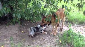 australian shepherd german shepherd australian shepherd vs german shepherd youtube