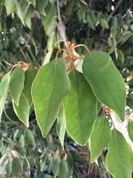 native plant nursery santa cruz trees of santa cruz county