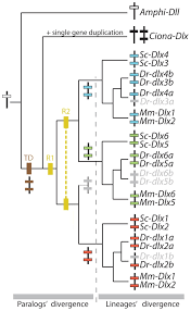 evolutionary events leading to the extant chordate dlx gene family